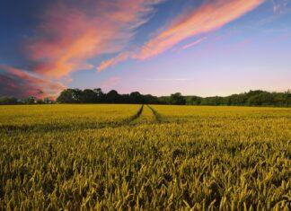 Ein Getreidefeld in der Abendsonne