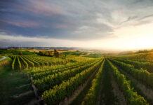 Ein niederösterreichischer Weingarten